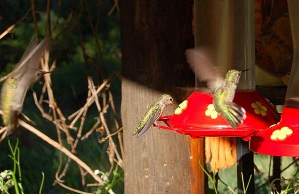 Calaveras County California Hummingbirds At Feeder