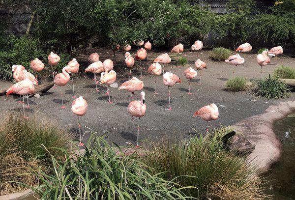 Seattle Woodland Park Zoo flamingos