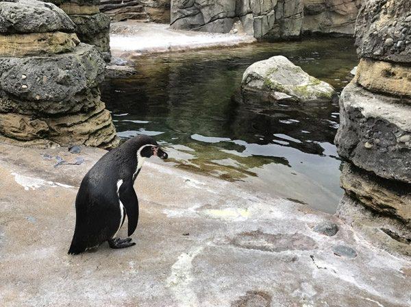 Seattle Woodland Park Zoo penguin